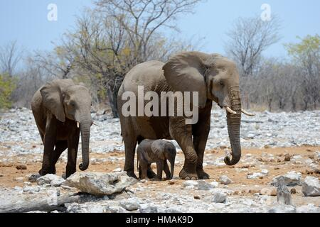 African elephant female staying next to her very young calf (Loxodonta africana) Etosha National Park, Namibia, - Stock Photo