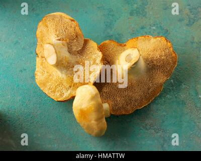 Fresh picked wiild organic Pied de Mouton Mushrooms (hydnum repandum) or hedgehog mushrooms. - Stock Photo