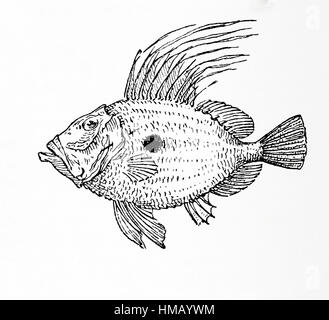 John Dory, St Pierre or Peter's Fish, Zeus faber.   From Meyers Lexicon, published 1928. - Stock Photo