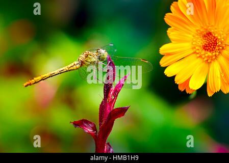 Large dragonfly on leaf flower - Stock Photo