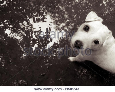 Adorable Jack Russell terrier with persuasive eyes standing in a puddle of reflecting water - Stock Photo