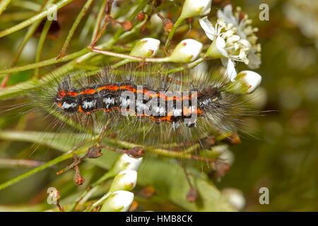 Yellow-tail Moth - Euproctis similis - caterpillar feeding on Pyracantha or Firethorn - Stock Photo