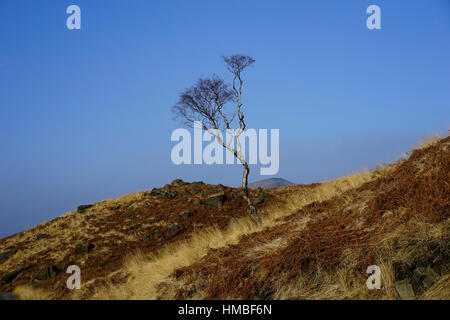Lonely single Silver Birch Tree on the side of rugged moorland, Saddleworth Moors, Greater Manchester, England, - Stock Photo