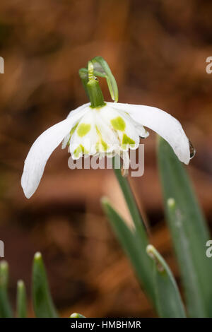 Single flower of the double snowdrop, Galanthus nivalis 'Lady Beatrix Stanley' - Stock Photo