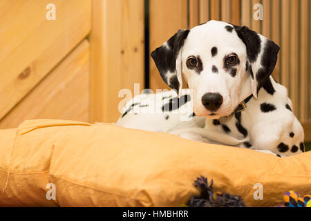 Young dalmatian puppy lying on the pillow - Stock Photo