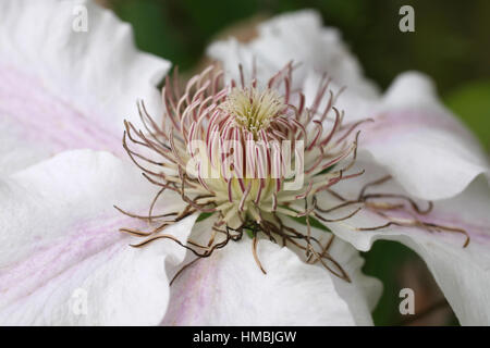 'Nelly Moser' clematis flower - close up - Stock Photo