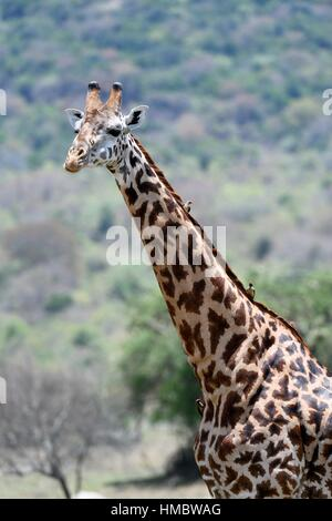 Portrait of Masai giraffe (Giraffa camelopardalis tippelskirchi) with Redbilled oxpeckers (Buphagus erythrorhynchus) - Stock Photo