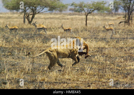 Wild animals of Africa in their environment: Lion running with prey in mouth - Stock Photo