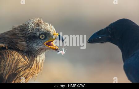 BLACK KITE (Milvus migrans), Campanarios de Azaba Biological Reserve, Salamanca, Castilla y Leon, Spain, Europe. - Stock Photo