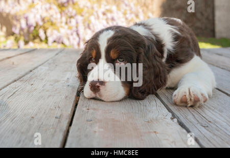 Sweet young springer spaniel puppy dog lays down with her head on the wooden deck.  She is brown and white with - Stock Photo