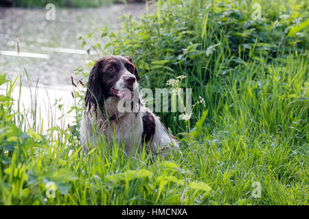 A wet English springer spaniel sits next to a canal in Cheddleton, Staffordshire - Stock Photo