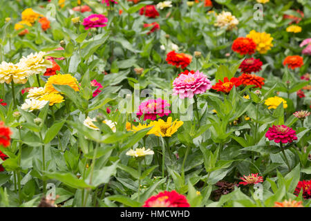 Zinnia elegans, a.k.a. youth-and-age, common zinnia or elegant zinnia, full of flowers in garden, Campos do Jordao, - Stock Photo