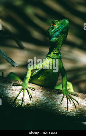 Juvenile Male Green Basilisk (Basiliscus plumifrons), Tortuguero National Park, Costa Rica - Stock Photo