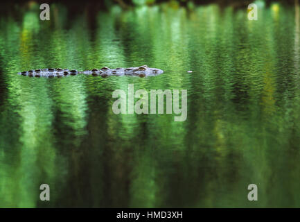 American crocodile (Crocodylus acutus) in the Sirena River, Corcovado National Park, Costa Rica - Stock Photo