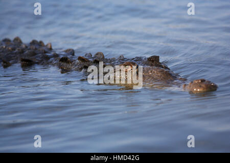 American Crocodile (Crocodylus acutus), River Tarcoles, Costa Rica. - Stock Photo