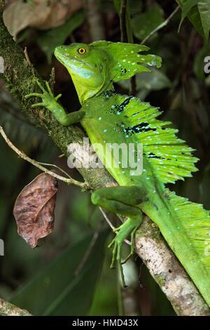 Male Green Basilisk (Basiliscus plumifrons) in rainforest, Tortuguero National Park, Costa Rica. - Stock Photo