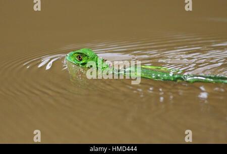 Juvenile Green Basilisk (Basiliscus plumifrons) swimming in natural rainforest canal, Tortuguero National Park, - Stock Photo
