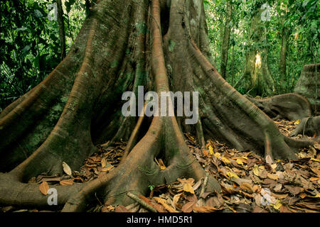 Buttress roots in rainforest in Corcovado National Park, Osa Peninsula, Costa Rica. - Stock Photo
