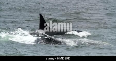 Killer Whales (Orcas) attacking an adult Gray Whale on the Monterey Bay, California, USA. - Stock Photo