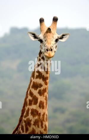 Head and neck portrait of Maasai giraffe (Giraffa camelopardalis tippelskirchi), Akagera National Park, Rwanda, - Stock Photo