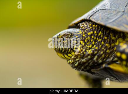 European pond turtle (also called the European pond terrapin), (Emys orbicularis), Campanarios de Azaba Biological - Stock Photo
