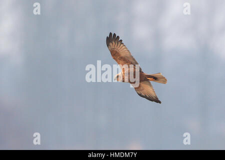 Female Marsh Harrier in flight above Minsmere - Stock Photo
