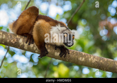 Madagascar, Nosy Be (Big Island) off the northwest coast of mainland Madagascar. Wild black lemur, female (Eulemur - Stock Photo