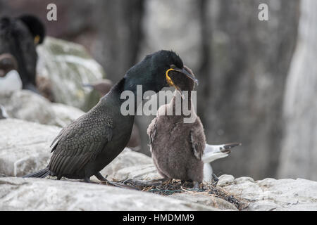 Shag feeding chick,Phalacrocorax aristotelis - Stock Photo