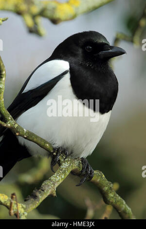Eurasian Magpie or Common Magpie Pica pica close up portrait - Stock Photo
