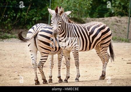 Zebra - Equus quagga in a ZOO - Stock Photo