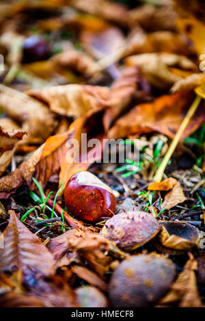 Horse chestnut - Aesculus hippocastanum on forest floor with leaves. Bunch of Chestnuts and the season colored leaves - Stock Photo