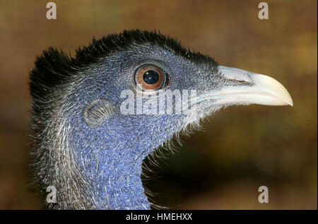 Head of a male Great Argus Pheasant (Argusianus argus), native to  the jungles of Borneo, Sumatra and the Malay - Stock Photo