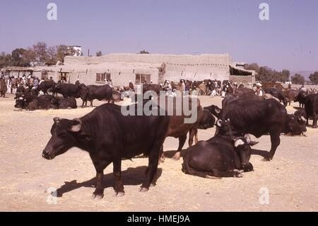 Cattle in foreground laying in the sun waiting to be sold at market in Kabul, Afghanistan. Afghan meat traders and - Stock Photo