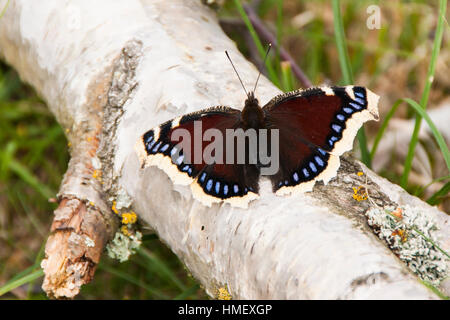 Camberwell Beauty butterfly, Nymphalis antiopa, basking on a fallen birch tree branch in sunlight with wings open - Stock Photo