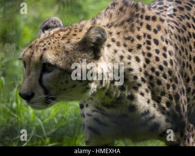 Close-up of Cheetah, Acinonyx jubatus, walking through grass - Stock Photo