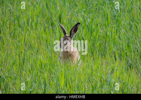 Brown hare, Lepus europaeus, siting upright in green cereal field - Stock Photo
