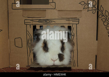 Small Lionhead rabbit with brown spots round eyes and on side of nose looking out of cardboard castle - Stock Photo