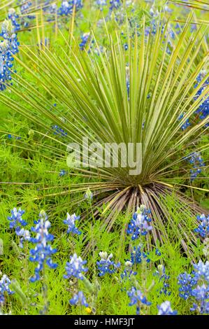 Texas bluebonnet with yucca, Inks Lake State Park, Texas. - Stock Photo
