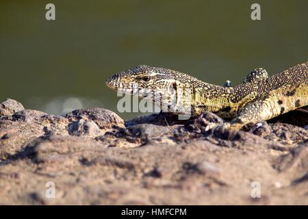 Nile Monitor (Varanus niloticus), Kruger National Park, South Africa. - Stock Photo