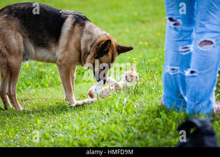 dog fighting domestic cat and playing in the green meadow - Stock Photo
