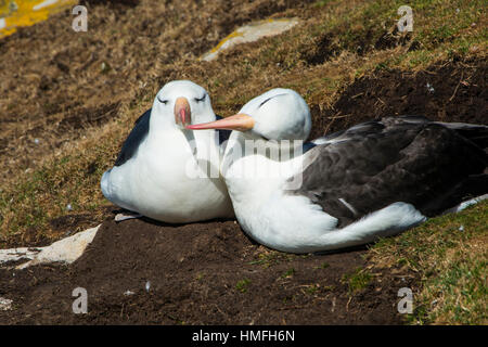 Black-browed albatross (Thalassarche melanophris) love, Saunders Island, Falklands, South America - Stock Photo
