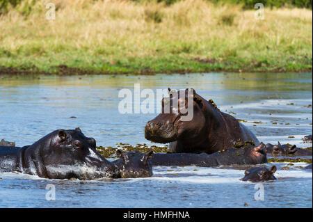 Hippopotamus (Hippopotamus amphibius), Khwai Concession, Okavango Delta, Botswana - Stock Photo