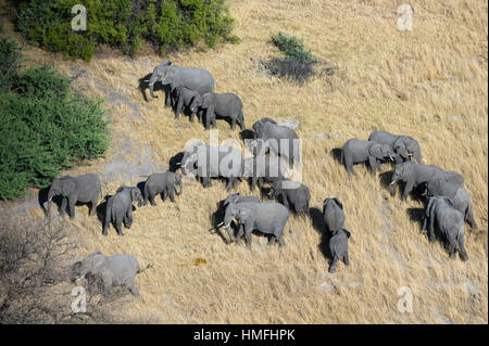 Aerial view of African elephants (Loxodonta africana), Okavango Delta, Botswana - Stock Photo