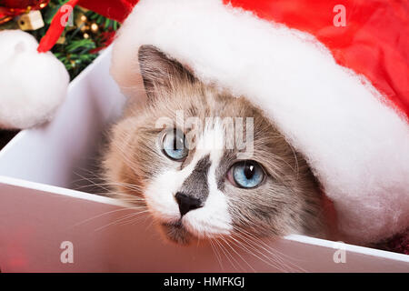 Ragdoll cat breed on a Christmas background - Stock Photo