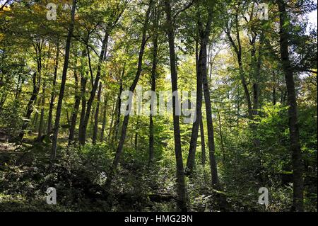beech trees in the forest of the Dilijan National Park, Tavush region, Armenia, Eurasia. - Stock Photo