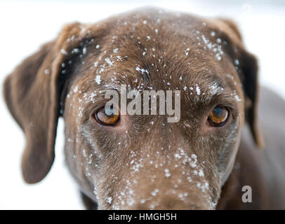 Beautiful chocolate lab dog close up of intense eyes with snowy face - Stock Photo