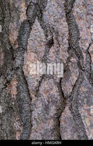 Schwarz-Kiefer, Schwarzkiefer, Kiefer, Rinde, Borke, Stamm, Pinus nigra, Pinus austriaca, Black Pine, bark, rind - Stock Photo