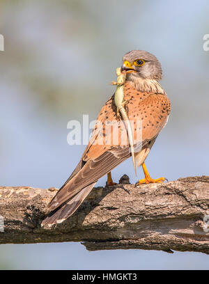 Female Common Kestrel (Falco tinnunculus) perching on a branch - Stock Photo