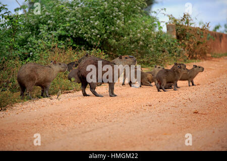 Capybara, (Hydrochoerus hydrochaeris), family with youngs on shore, Pantanal, Mato Grosso, Brazil, South America - Stock Photo