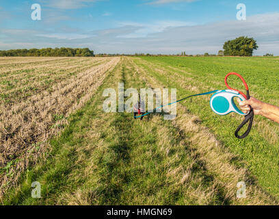 Staffordshire bull terrier dog running in a field on a long retractable, extendable leash or lead held by a man's - Stock Photo